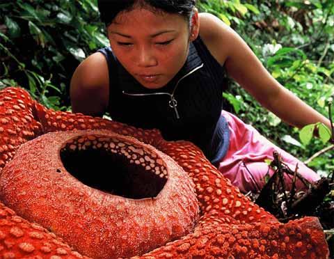 Thamae Deskripsi Bunga Rafflesia Arnoldii